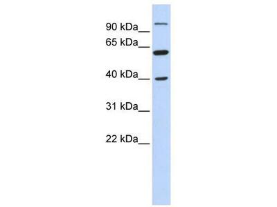 Rabbit Polyclonal Anti-LETM2 Antibody