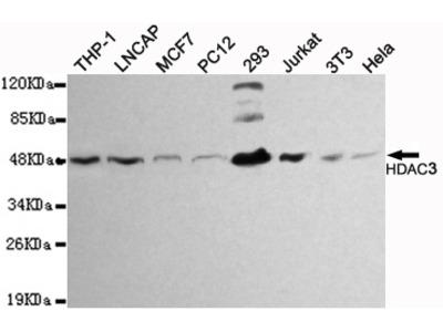 Mouse Monoclonal HDAC3 Antibody