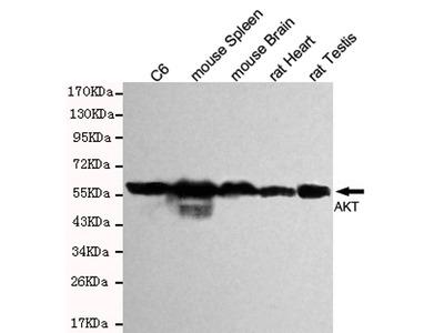 Mouse Monoclonal AKT(pan) Antibody