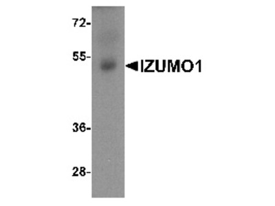 Rabbit Polyclonal Anti-IZUMO1 Antibody