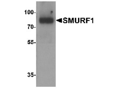 Rabbit Polyclonal Anti-SMURF1 Antibody