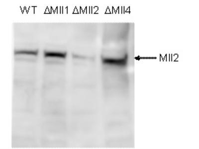 Rabbit Polyclonal Mll2 Antibody