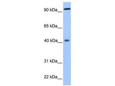 Rabbit Polyclonal Anti-PYGO1 Antibody