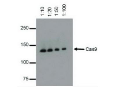 CRISPR/Cas9 - HRP monoclonal antibody