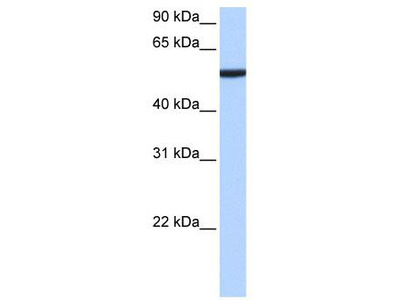 Rabbit Polyclonal Anti-CBX2