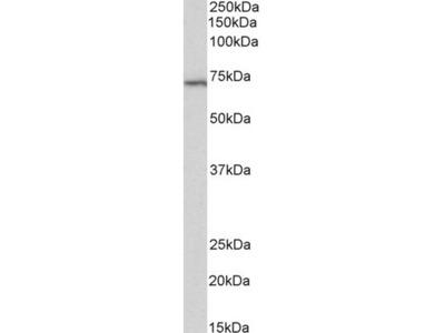Goat Polyclonal Anti-TICAM-1 / TRIF Antibody