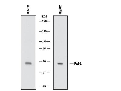 Serpin E1 /PAI-1 Antibody