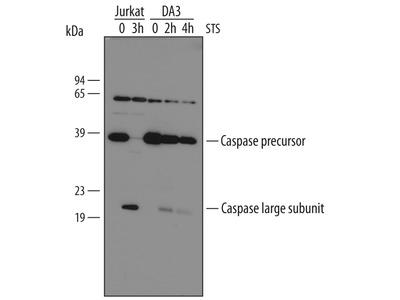 Heparan Sulfate 3-O-Sulfotransferase 1 /HS3ST1 Antibody