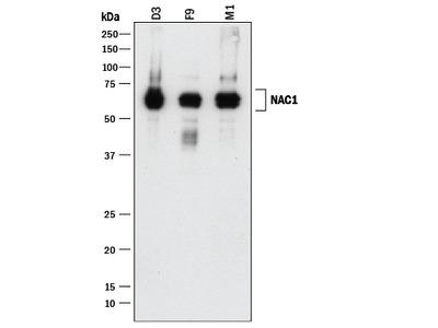 NAC1 Antibody
