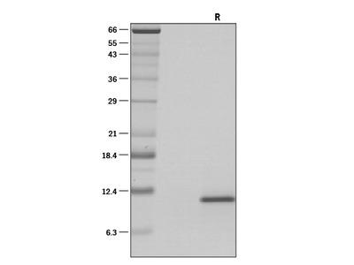 IL-15 Protein