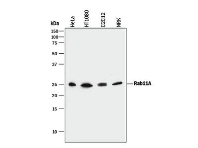 Human / Mouse / Rat Rab11A Antibody