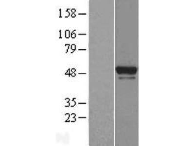 Transient overexpression lysate of BRF2, subunit of RNA polymerase III transcription initiation factor, BRF1-like (BRF2)
