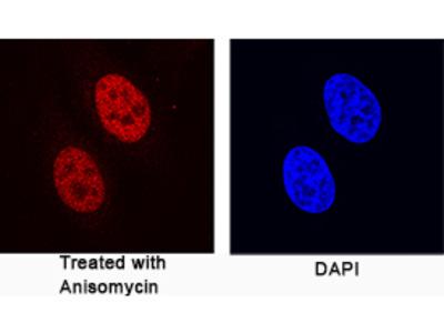 Phospho-c-Jun (S63) Antibody