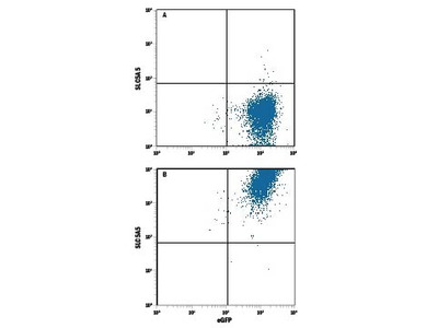 IMP Dehydrogenase 2 /IMPDH2 Antibody