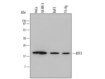 p130Cas Antibody