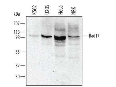 p63 /TP73L Antibody
