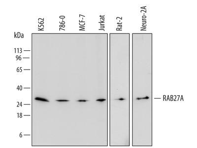Human / Mouse / Rat Rab27a Antibody
