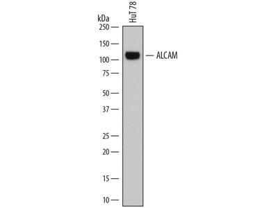 ALCAM /CD166 Antibody
