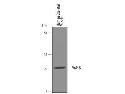 Importin alpha 3 /KPNA4 Antibody