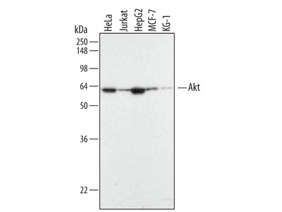 Akt Pan Specific Antibody