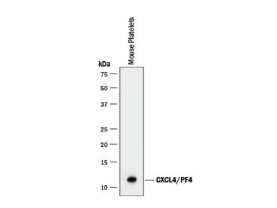 CXCL4 / PF4 Antibody