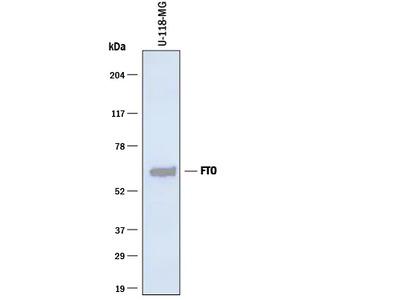 FTO Antibody