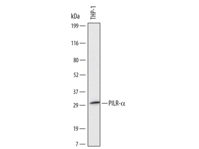 Complement Component C5aR1 Antibody