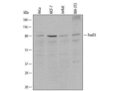 IL-13 R alpha 2 Antibody