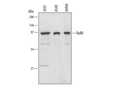 Ku80 / XRCC5 Antibody