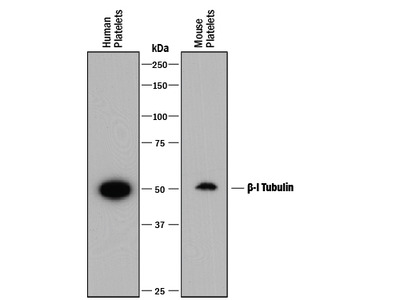 beta-I Tubulin Antibody