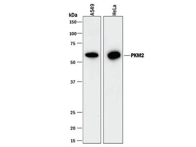 SRPK3 Antibody