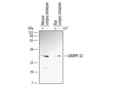 SPARC-like 1 /SPARCL1 Antibody
