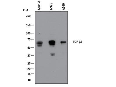 ADAM33 Ectodomain Antibody