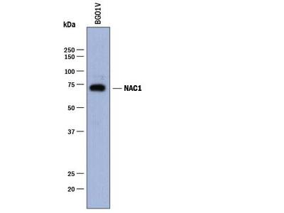 Pregnancy Zone Protein /PZP Antibody