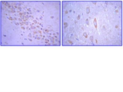 Anti-Glutamate Receptor 2 Antibody, extracellular, clone 6C4