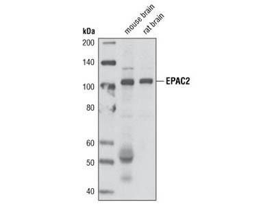 EPAC2 (5B1) Mouse mAb