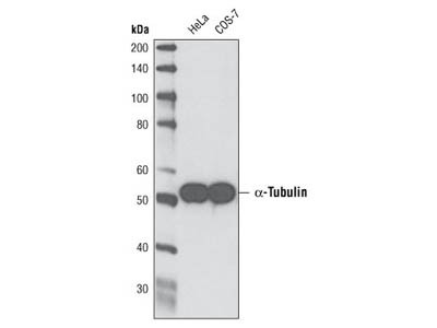 Great Multipurpose Antibody for a-Tubulin