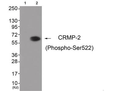 CRMP-2 (phospho Ser522) Antibody