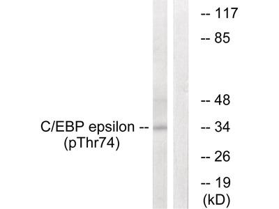 C/EBP-ε (phospho Thr74) Antibody