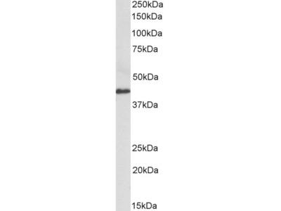 CX3CL1 / fractalkine Antibody