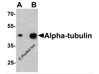 Alpha-tubulin Antibody