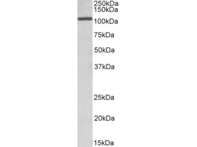 CCAAT/enhancer binding protein zeta Antibody