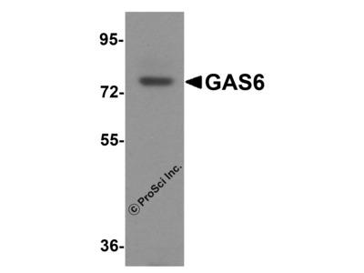 GAS6 Antibody