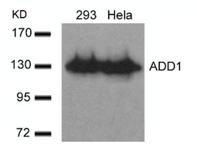 ADD1 (Ab 726) Antibody