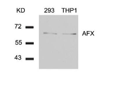 AFX (Ab 197) Antibody