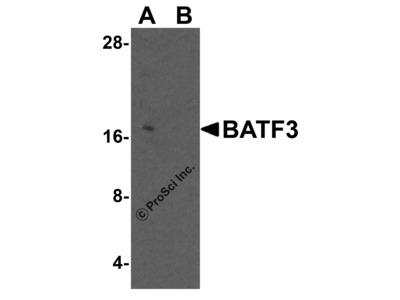 BATF3 Antibody