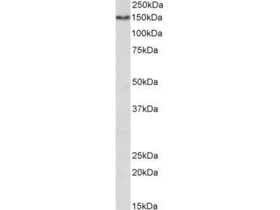 CD13 / ANPEP Antibody