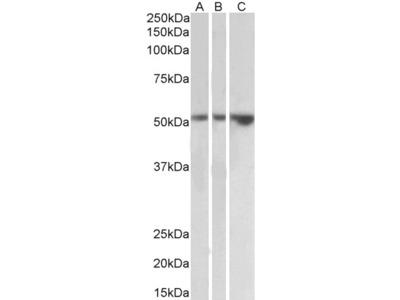 TIM-1 Antibody