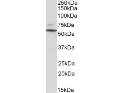 Peripherin 1 Antibody