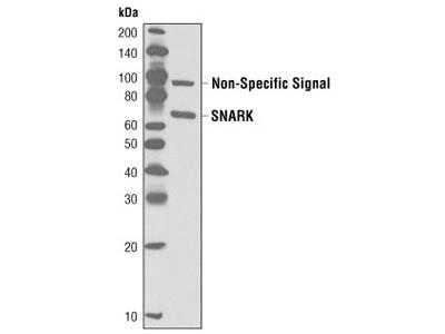 SNARK/NUAK2 Antibody